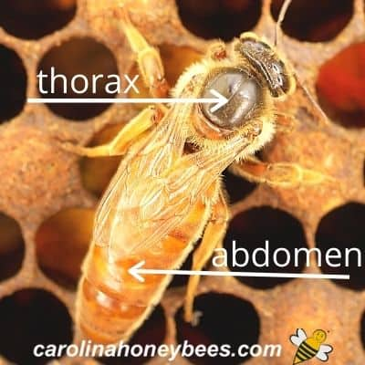 queen honey bee on comb in the hive - thorax and abdomen labeled