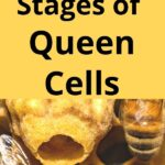 queen honey bee cell in hive - 4 stages of queen cells