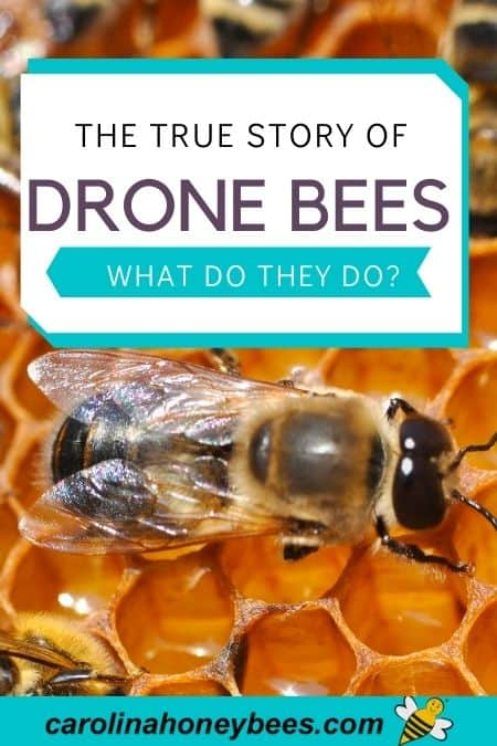Drone honey bee on comb true story of drone bees and what they do image.