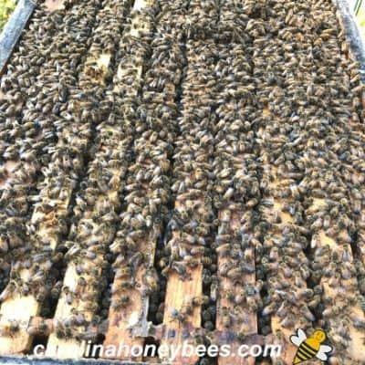 picture of a large colony of honey bees more defensive