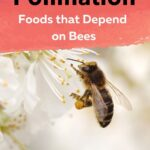 Honey bee pollinating a fruit tree honey bee pollination foods that depend of bees image.