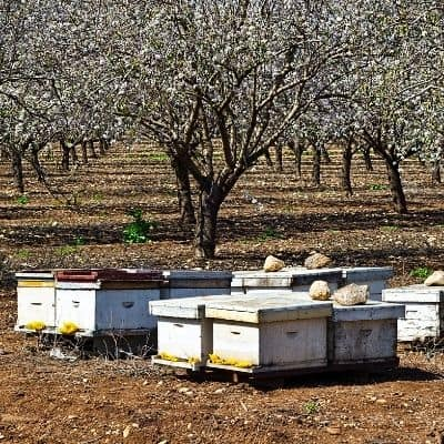 commercial beehives in an almond orchard