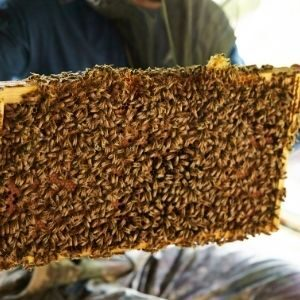 frame of honey bees in beekeeping hive
