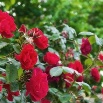 Red rose bushes not as attractive to bees and wasps image.