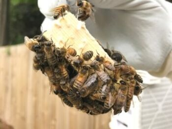 newly purchased queen bee in a queen cage surrounded by worker bees
