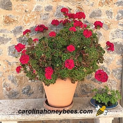 Red geraniums in a large pot not attractive to bees image.