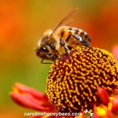 Honey bee gathering pollen from red flower image.