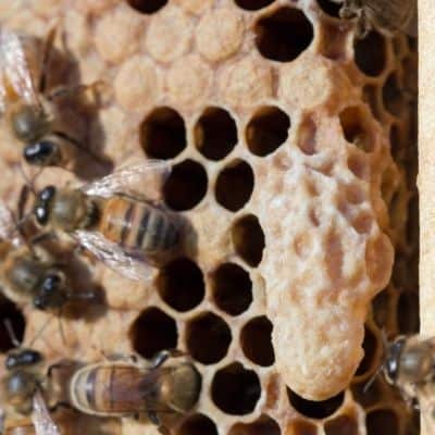 capped queen cell on the face of honeycomb in a beehive