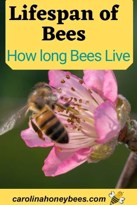 Honey bee on pink flower lifespan of bees image.