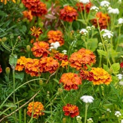 Dark orange marigold in field can repel some bees and insects image.
