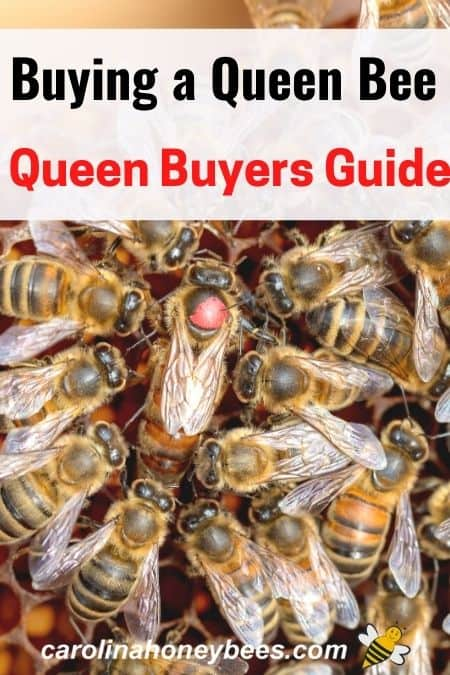 queen bee surrounded by attendants - buying a queen bee = queen buyers guide