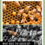 picture of queen honey bees in a hive the role of a queen bee