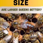 Large size dark queen honey bee in a hive image.