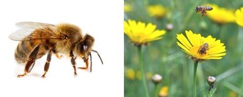 honey bee close up - honey bee foraging on flower