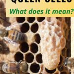 picture of a queen honey bee cell why bees build them