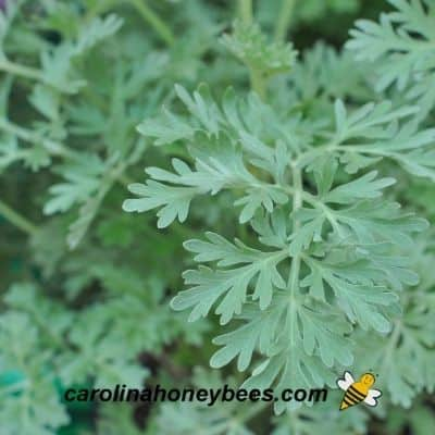 Wormwood plant with silver green leaves  image.