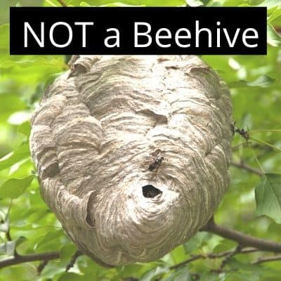 picture of large grey hornet nest in a tree - not a bee hive