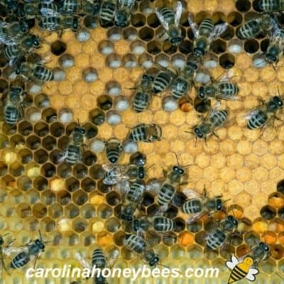 russian honey bees tending brood in an open hive