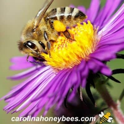 picture of honey bee on purple flower