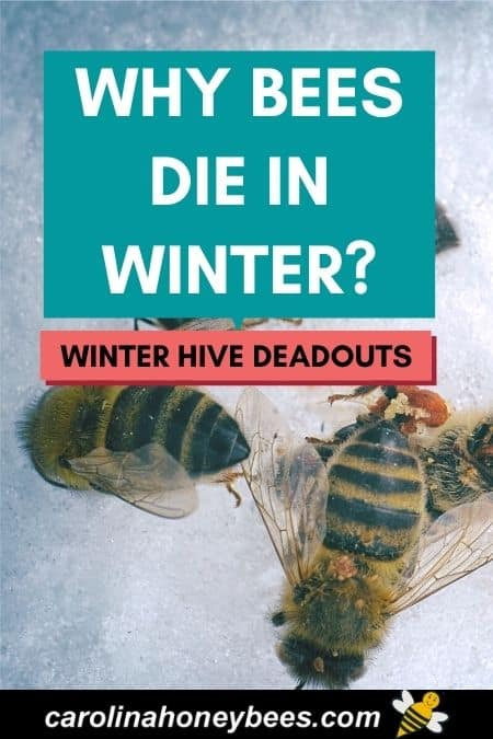 picture of dead honey bees why bees die in Winter