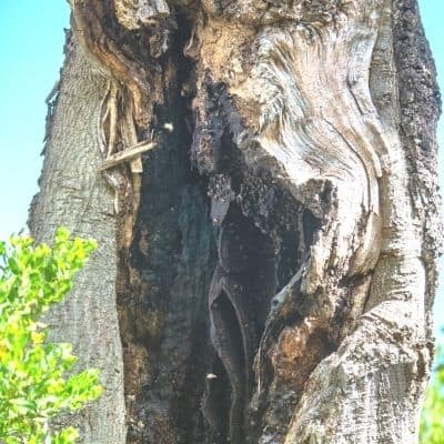 picture of a bee hive living in a hollow tree