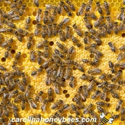 picture of crowded brood nest in a honey bee hive