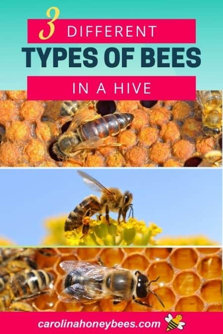 Three different kinds of bees in a hive queen drone and worker bee image.