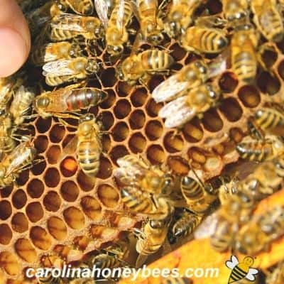 many types of bees in a beehive on comb