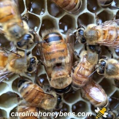 image of drone honey bee with worker bees in hive