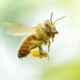 honey bee travels to collect pollen for hive