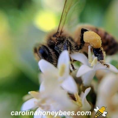 picture of worker honey bee with full pollen baskets