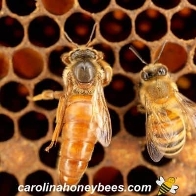 queen honey bee and worker bee on comb in hive