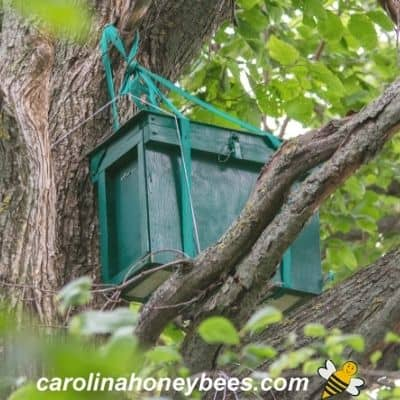 picture of a swarm trap for bees in a tree