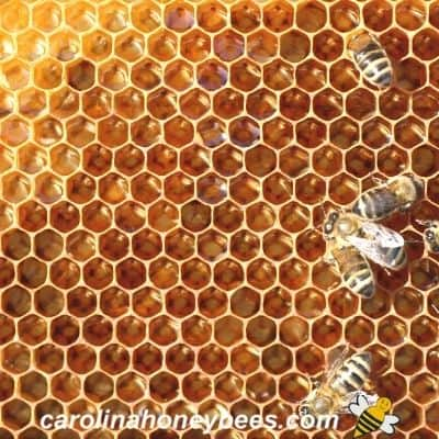 picture of honey bees in a hive on a sheet of beeswax honey comb