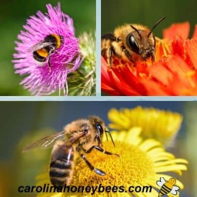 picture of 3 different kinds of bees