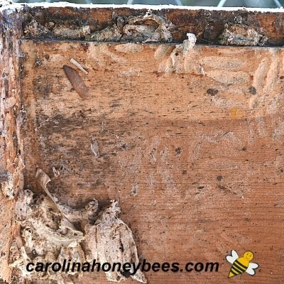 picture of wax moth cocoons and damage in a bee hive box