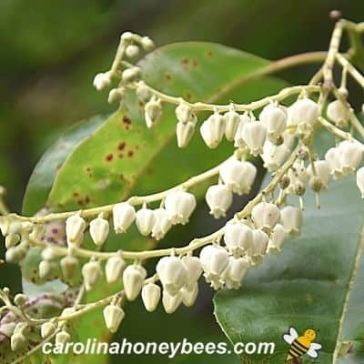 Frond of white sourwood tree blooms image.