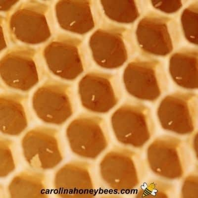 picture of honey bee eggs in wax cells