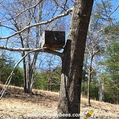 Old bait hive or swarm trap sitting in a tree image.