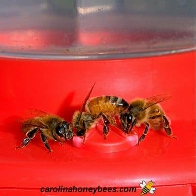 image of honey bees drinking from hummingbird feeder
