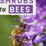 Honey bee foraging on flowering shrubs for bees image.