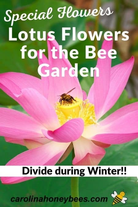 picture of lotus bloom with bee - lotus flowers for bee garden divide during winter