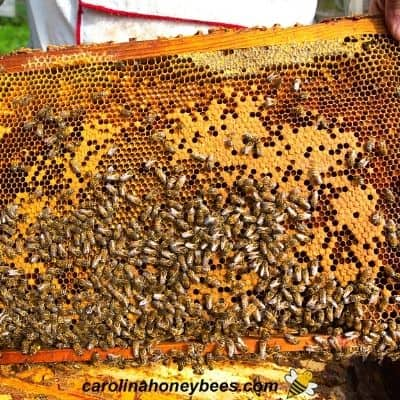 Beekeeper giving brood frame to new hive to discourage bees leaving image.