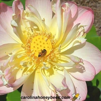 picture of honey bee on lotus flowers