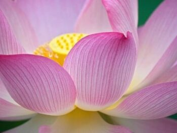 picture of lotus flower in bloom in bee garden