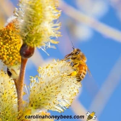 picture of a pussy willow shrub with honey bee on bloom