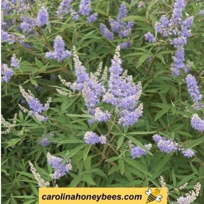 image of a purple vitex shrub in bloom