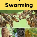 picture of types of honey bee swarming clusters