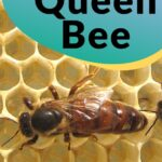 picture of large queen bee on comb