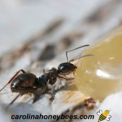 How to Keep Ants Out of Beehives